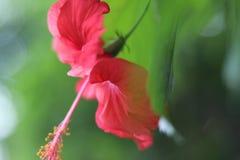 Röd blomma med pistillen Royaltyfri Foto