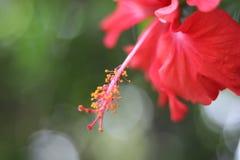Röd blomma med pistillen Arkivfoto