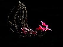 Röd blomma med svart bakgrund Arkivfoto