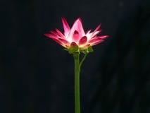 Röd blomma med svart bakgrund Royaltyfri Fotografi