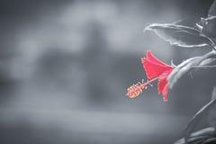Röd blomma med svartvit bakgrund Arkivfoton