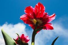 Röd blomma mot himlen Royaltyfria Bilder
