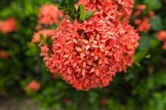 Röd blomma, nära övre för blomma Fotografering för Bildbyråer