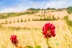 Röd blomma och slingrig väg i den crete senesien Tuscany, Italien Royaltyfri Fotografi
