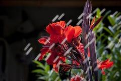 Röd blomma och Stopingregnet Arkivbilder