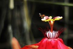 Röd blomma och trigona Royaltyfri Bild