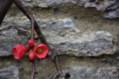 Röd blomma på en bakgrund för stenvägg Royaltyfria Foton