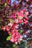Röd blomma på en filial av trädet Royaltyfri Fotografi