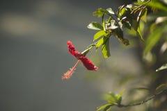 Röd blomma på en suddig grön bakgrund Royaltyfria Foton