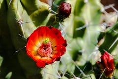 Röd blomma på igelkottkaktuns Royaltyfri Bild