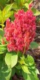 Röd blomma på komposttäckning Fotografering för Bildbyråer