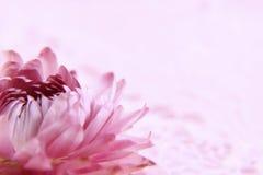 Röd blomma på rosa färg Royaltyfri Fotografi