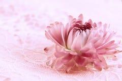 Röd blomma på rosa färg Fotografering för Bildbyråer