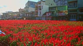 Röd blomma Salvia Plantation framme av byggnader längs vägen arkivfilmer