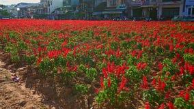 Röd blomma Salvia Plantation framme av byggnader längs vägen lager videofilmer