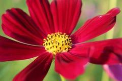 Röd blomma som är härlig i parkera Fotografering för Bildbyråer
