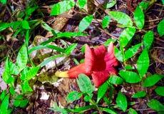 Röd blomma som har stupat på jordningen Arkivfoto