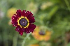 Röd blomma som isoleras Arkivfoton