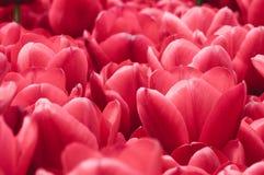 Röd blommabakgrund Royaltyfria Bilder