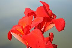 Röd blommabakgrund, asia arkivbilder