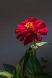 Röd blommabakgrund i Surat Thani Thailand Arkivfoto