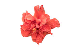 Röd blommablom Royaltyfri Fotografi
