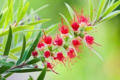 Röd blommablomning, Banksia Royaltyfri Bild