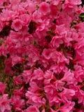 Röd blommabristning Royaltyfria Bilder