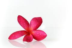 Röd blommabrunnsort Arkivbild