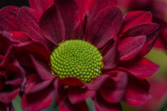 Röd blommacloseup Arkivbild