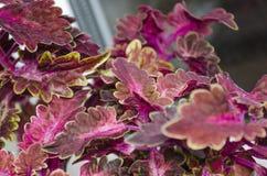Röd blommaColeus Royaltyfria Bilder
