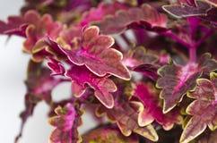 Röd blommaColeus Arkivfoto