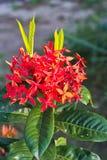Röd blommagrov spik Royaltyfri Foto