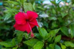 Röd blommahawaiibohibiskus royaltyfri bild