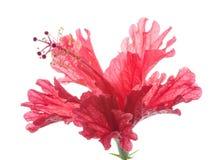 Röd blommahibiskus Royaltyfria Bilder