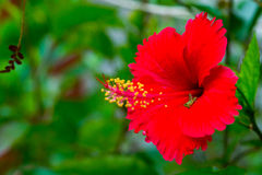 Röd blommahibiskus Royaltyfri Foto