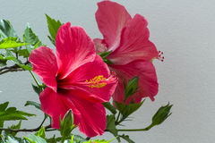 Röd blommahibiskus Arkivbild