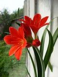 Röd blommaHippeastrum bland Royaltyfria Bilder