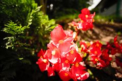 Röd blommaImpatiens walleriana Arkivfoto
