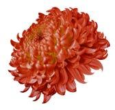 Röd blommakrysantemum som isoleras på vit bakgrund För design Mer klar fokus closeup royaltyfri bild
