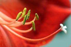 Röd blommamakro Royaltyfria Bilder