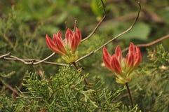 Röd blommande blomma två Royaltyfria Bilder