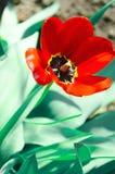 Röd blommande tulpan i gården Arkivbilder