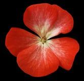 Röd blommapelargon svart isolerad bakgrund med den snabba banan Closeup inga skuggor Royaltyfria Foton