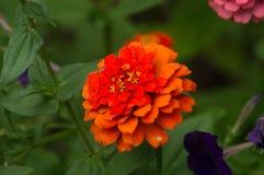 Röd blommasommartapet arkivbilder