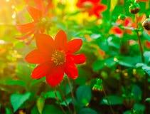Röd blommasuni Arkivfoton