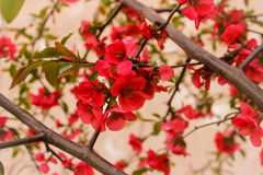 Röd blomning Royaltyfri Bild