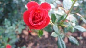 Röd blomning Arkivfoton
