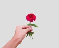 Röd blomning i en hand Fotografering för Bildbyråer