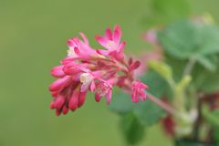 Röd-blomning vinbär på grön bakgrund Royaltyfri Fotografi